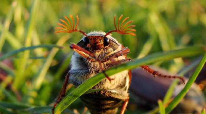hrushh Як врятуватися від гусениць хруща?